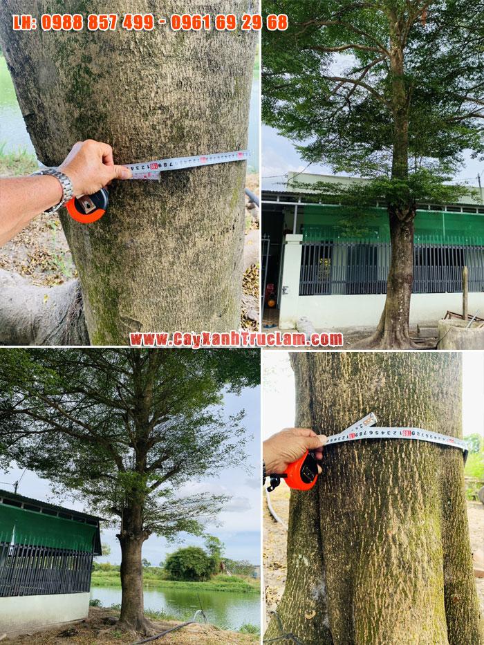 Cây Bàng - Cây Bàng Đài Loan, Bàng lá nhỏ vanh 200cm là cây to lơn cây được trồng trang trí cảnh quan, làm điểm nhấn cho các dự án cần cây Bàng Đái Loan đường kính khủng 70-1m